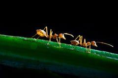 красный цвет муравея Стоковые Изображения