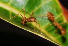 красный цвет муравея Стоковые Фотографии RF