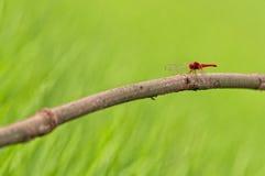 красный цвет мухы дракона Стоковая Фотография