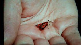красный цвет мухы Стоковое Изображение