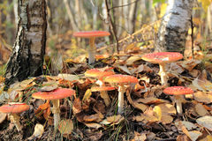 красный цвет мухы agaric Стоковые Фото