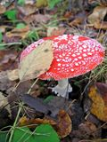 красный цвет мухы agaric Стоковые Фотографии RF
