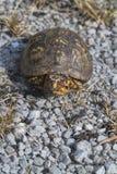 Красный цвет наблюдал мужской восточный Terrapene Каролина Каролина черепахи коробки стоковые изображения