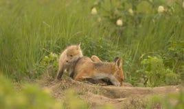 красный цвет набора лисицы Стоковое Фото