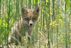 красный цвет набора лисицы Стоковое Изображение