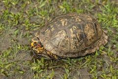 Красный цвет наблюдал черепаха коробки 2 Алабамы - Terrapene Каролина стоковые изображения rf