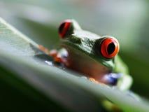 Красный цвет наблюдал callidryas agalychnis древесной лягушки (68) Стоковая Фотография RF