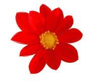 красный цвет ноготк Стоковое Фото