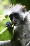 красный цвет обезьяны Стоковые Фото