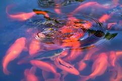 красный цвет озера рыб аквариума Стоковые Фотографии RF