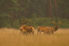 красный цвет оленей золотистый светлый Стоковое Изображение
