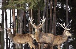 красный цвет оленей Стоковые Изображения