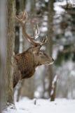 красный цвет оленей Стоковое Фото