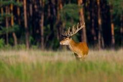 красный цвет оленей Стоковые Изображения RF