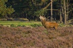 красный цвет оленей Стоковые Фото