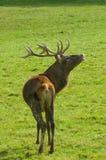 красный цвет оленей rutting Стоковое Фото