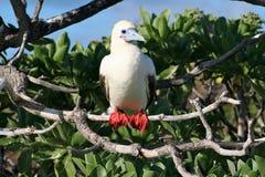 красный цвет олуха птицы footed Стоковое Изображение