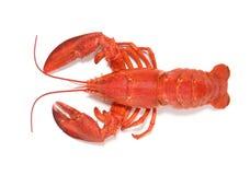 красный цвет омара Стоковые Изображения RF