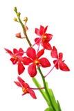 красный цвет орхидеи Стоковые Изображения