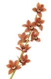 красный цвет орхидеи Стоковое Изображение RF