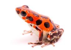 красный цвет отравы лягушки дротика Стоковые Изображения RF