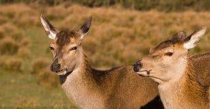 красный цвет оленей задний Стоковые Фото