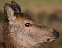 красный цвет оленей задний Стоковые Изображения RF