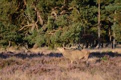 красный цвет оленей antlers Стоковое Фото