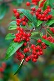 красный цвет падения ягод Стоковое фото RF