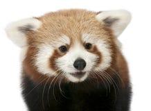 красный цвет панды кота близкий светя вверх по детенышам Стоковое фото RF