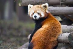красный цвет панды медведя любознательний Стоковые Изображения