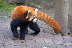 красный цвет панды медведя любознательний Стоковые Фото