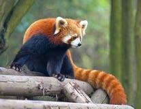 красный цвет панды медведя любознательний Стоковая Фотография