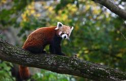 красный цвет панды медведя Стоковая Фотография RF