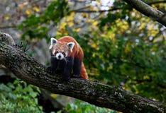 красный цвет панды медведя Стоковые Фотографии RF