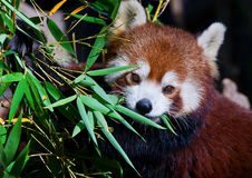 красный цвет панды младенца Стоковое фото RF
