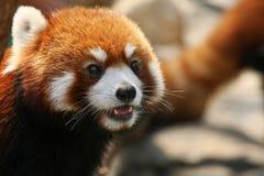 красный цвет панды стороны крупного плана Стоковое Фото