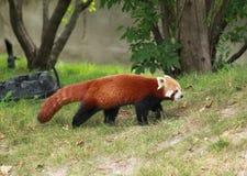 красный цвет панды Стоковая Фотография