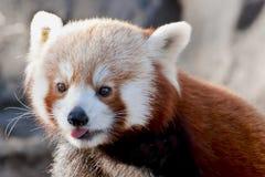 красный цвет панды Стоковые Изображения RF