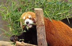 красный цвет панды Стоковые Фотографии RF