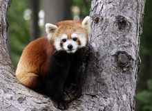 красный цвет панды Стоковое Фото