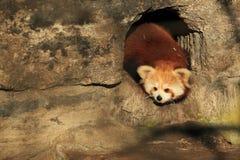 красный цвет панды Стоковые Фото