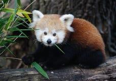 красный цвет панды младенца Стоковые Фотографии RF
