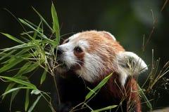 красный цвет панды fulgens ailurus Стоковое Изображение RF