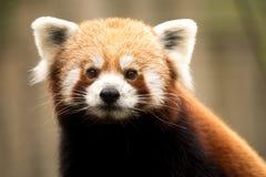 красный цвет панды fulgens ailurus Стоковые Изображения RF