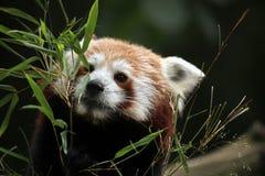 красный цвет панды fulgens ailurus Стоковые Фото