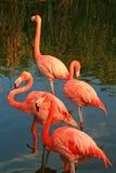 красный цвет парка фламингоа стоковые фото