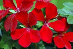 красный цвет пеларгонии вьюги темный Стоковое Изображение RF