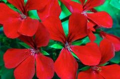 красный цвет пеларгонии вьюги темный Стоковые Изображения RF