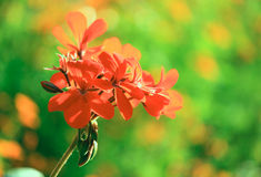 красный цвет пеларгонии Стоковые Фотографии RF